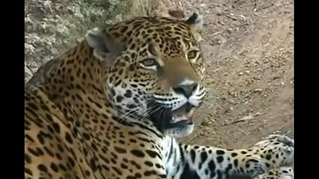 Jaguars receive protected territory in New Mexico and Arizona