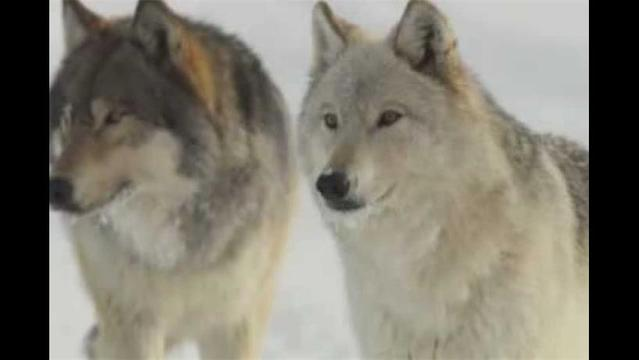 Best reasons to call off the war on wolves