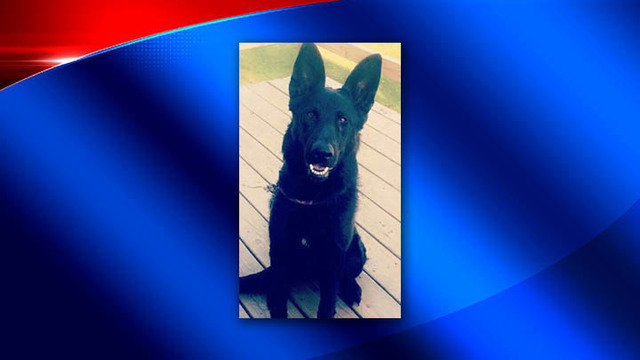 UPDATE: Stolen German Shepherd from Town of Union found, returned to owner