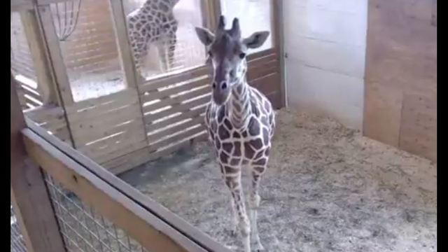 WATCH LIVE: Animal Adventure giraffe expecting calf at any moment