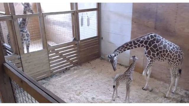 Viral April the Giraffe webcam at Animal Adventure going dark